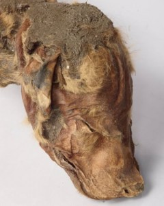 Mummified wolf pup head